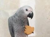 非洲刚果中型鹦鹉