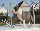 家养纯种比特犬便宜出售了 喜欢的可以加我详聊