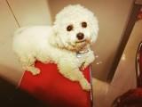 杭州白色泰迪母狗求配种