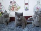 青岛哪里出售蓝猫 青岛蓝猫多少钱 青岛蓝猫哪家好