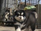 云南卖阿拉斯加 玉溪卖阿拉斯加 玉溪买阿拉斯加 狗场常年出售