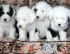 哪里有卖古代牧羊犬 价格都是 古代牧羊犬哪里有卖