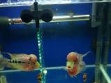 色艳头大---珍珠罗汉鱼