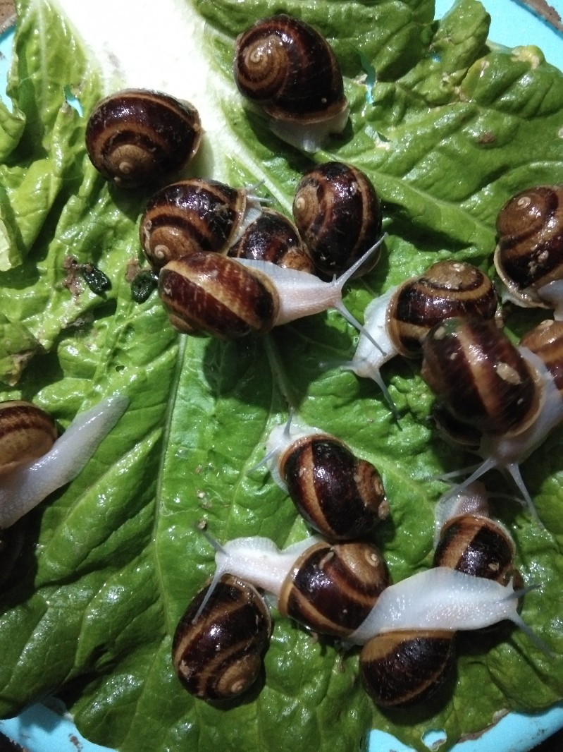 法国散大蜗牛,亮大蜗牛,宠物蜗牛,美容蜗牛