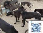 哪里出售格力犬 格力犬价格 格力犬健康保证