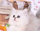 赛级纯种金吉拉幼犬--宠物猫咪活体--支持空运