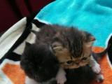 自家养的加菲猫天真可爱