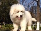 顶级大白熊幼犬 品相血统纯正 保证健康 售后有保障