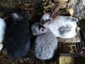 大型杂交种兔