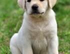 广州养殖场出售拉布拉多犬 多品种挑选 品质纯正 售后有保障