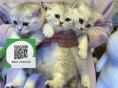 绵阳哪里卖虎斑猫 虎斑猫价格 虎斑猫哪里有卖