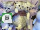 天津哪里有宠物店 天津哪里卖宠物猫便宜 天津蓝猫价格