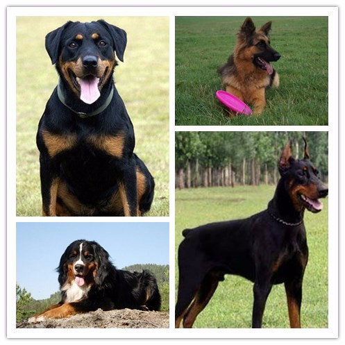 暮光出品 实属佳品 高品质幼犬承诺签协议保障半年全国发货