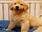 正规狗场 专业繁殖 纯种金毛 健康质保 可送货