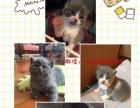 自家繁殖英短猫咪