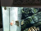 四纹虎 财神鹦鹉 巴西亚 Q鲨