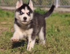 纯种哈士奇幼犬,三只眼哈士奇,保证纯种,可签协议