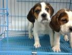 家养一窝纯种比格犬可以签协议 来家里看狗父母