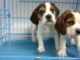 狗场里的比格犬能不能养活 价格贵不贵