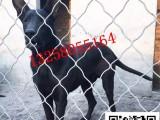 一对两个月的黑狼犬幼犬多少钱小黑狼犬的价格图片