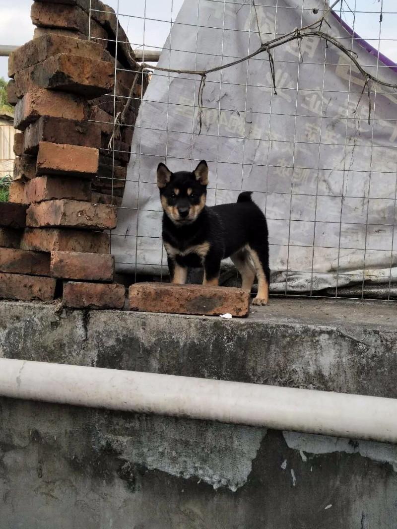 广西优质土猎犬