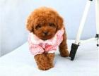 上海出售纯种可爱泰迪熊包健康包纯种 可签协议