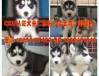 哈士奇一只多少钱 广州边度有卖哈士奇幼犬 珠三角可送货上门