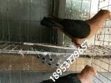 栏杆观赏鸽 仙女观赏鸽 两头乌观赏鸽 燕子观赏鸽出售60多种
