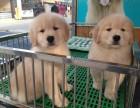 自家犬舍出售健康纯种金毛犬 公母都有