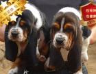 冠军后代双血统巴吉度一窝 证书可查可以看狗父母