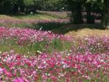 观赏向日葵种子千屈菜种子波斯菊种子醉蝶花种子