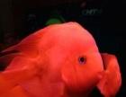 观赏鱼红鹦鹉元宝财神鱼鞍山周边海城台安岫岩辽阳自提