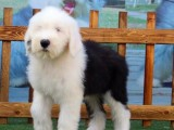 本溪宠物狗 纯种柯基犬幼犬狗狗出售 健康质保