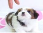 出售纯种西施犬幼犬迷你西施犬/疫苗驱虫做好可上门