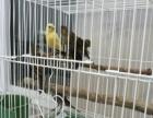 便宜出售喽喽鸟