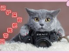 家庭猫舍 出售英短蓝猫 渐层美短 包健康纯种 可上门签协议