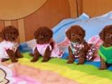 海口出售 泰迪幼犬 保证纯种健康 签订活体协议