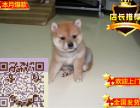 纯种的柴犬多少钱 柴犬跟秋田有什么区别 柴犬好养吗