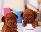 纯种精品泰迪熊犬 颜色多用 健康活泼 智商超高