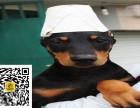 哪里有卖杜宾犬杜宾犬多少钱杜宾犬图片杜宾犬幼犬