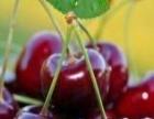 济南大樱桃成熟了,欢迎来采摘