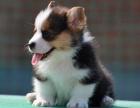 深圳出售小短腿 纯种**小柯基幼犬柯基犬随时可以看狗
