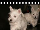 八月活动优惠直销纯种西高地白梗犬 可以签订质保合同