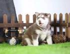 湛江哪里有宠物狗卖精品三火蓝眼哈士奇雪橇犬证书齐全