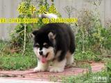 纯种阿拉斯加幼犬 巨型阿拉斯加 熊版阿拉斯加