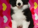 重庆出售 边境牧羊犬,疫苗驱虫已做视频
