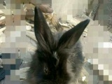 荷兰垂耳兔子