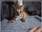CFA认证猫舍 专业繁殖出售 孟加拉豹猫 签署正规协议
