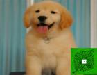 基地繁育 高品质美系金毛幼犬 罗宾汉血系 可签协议