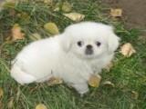 昆明哪有京巴犬卖 昆明京巴犬价格 昆明京巴犬多少钱